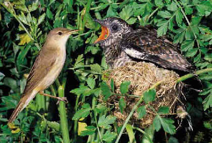 A huge cuckoo fledgling being fed by a smaller bird